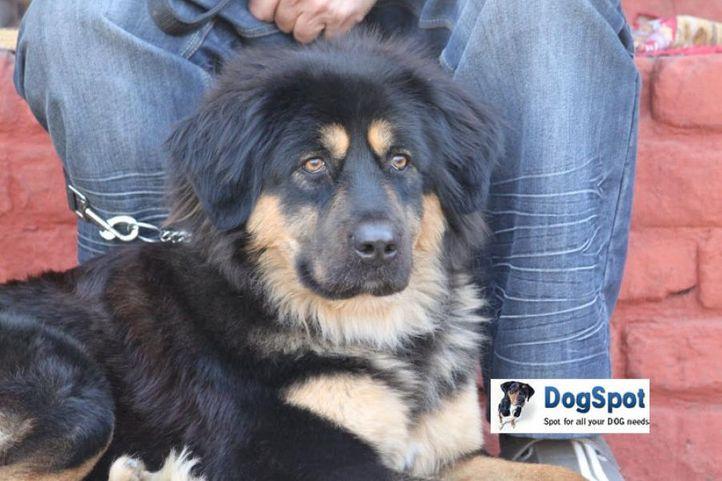 Tibetian Mastiff,, Tibetian Mastiff, DogSpot.in