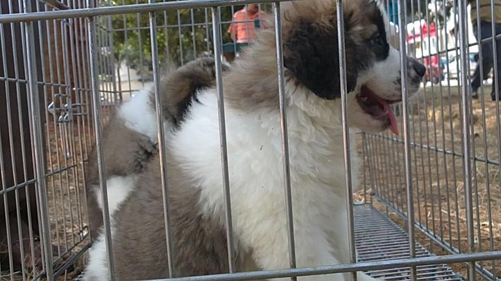 bangalore dog show photos, Tibetian Mastiff, DogSpot.in
