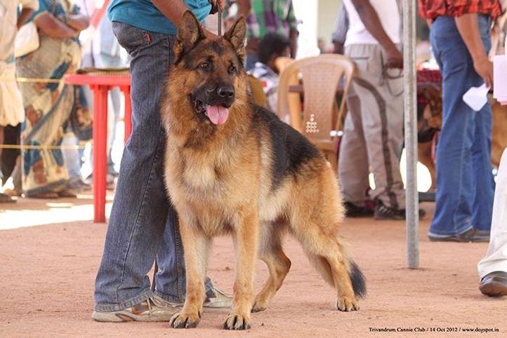ex-258,german shepherd,sw-59,, JURI VOM STIEGLERHOF, German Shepherd Dog, DogSpot.in