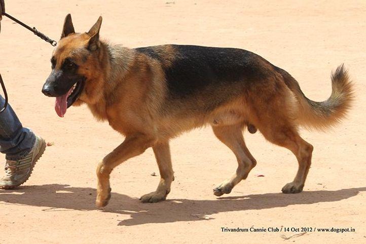 german shepherd,sw-59,, Trivandrum Dog Show 14th Oct 2012, DogSpot.in