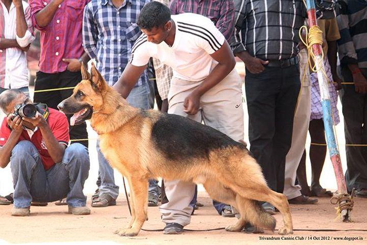ex-283,german shepherd,sw-59,, SOMS CATINY, German Shepherd Dog, DogSpot.in