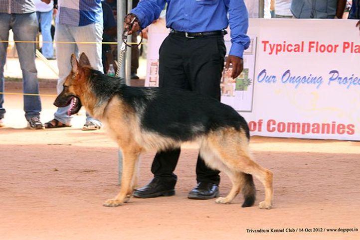ex-277,german shepherd,sw-59,, KINGS CAMILLA, German Shepherd Dog, DogSpot.in