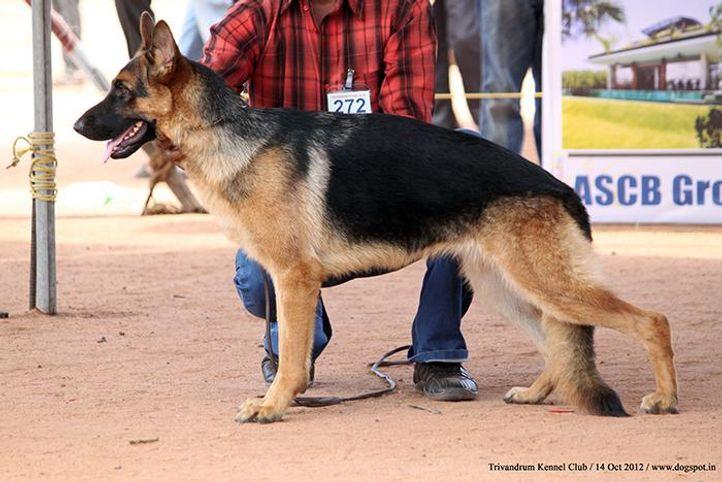 ex-272,german shepherd,sw-59,, KINGSWAY'S CANTA, German Shepherd Dog, DogSpot.in