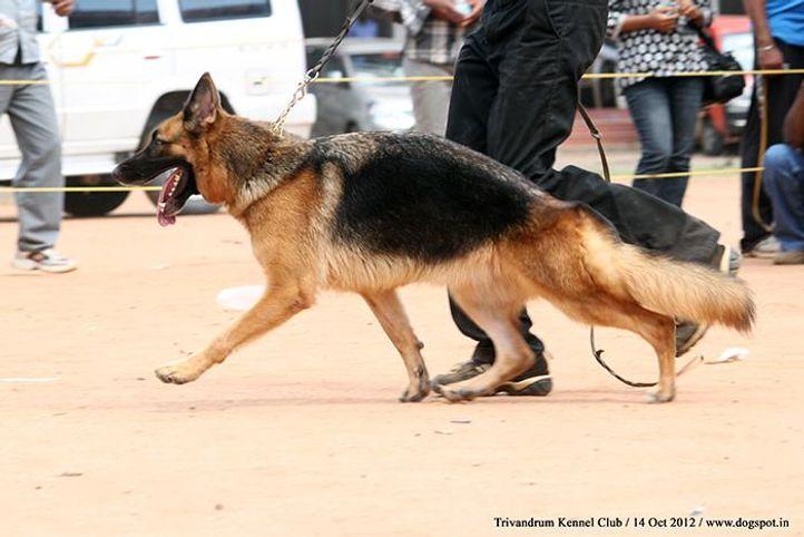 ex-273,german shepherd,sw-59,, WILDSTROBE'S ATHENA, German Shepherd Dog, DogSpot.in