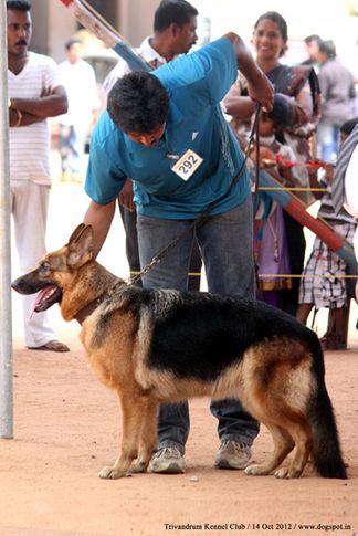ex-292,german shepherd,sw-59,, LANJA VOM MURRTAL, German Shepherd Dog, DogSpot.in