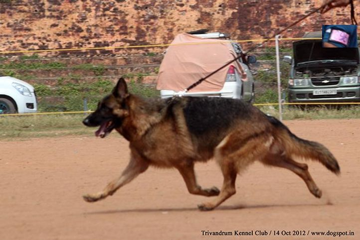 ex-296,german shepherd,sw-59,, WILDSTOBE'S SEANA, German Shepherd Dog, DogSpot.in