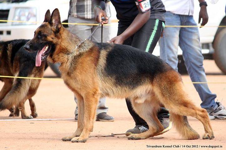 ex-298,german shepherd,sw-59,, NIQ, German Shepherd Dog, DogSpot.in