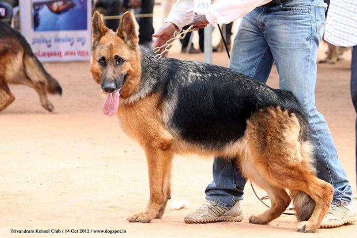 ex-289,german shepherd,sw-59,, VINMINS XANTIA, German Shepherd Dog, DogSpot.in