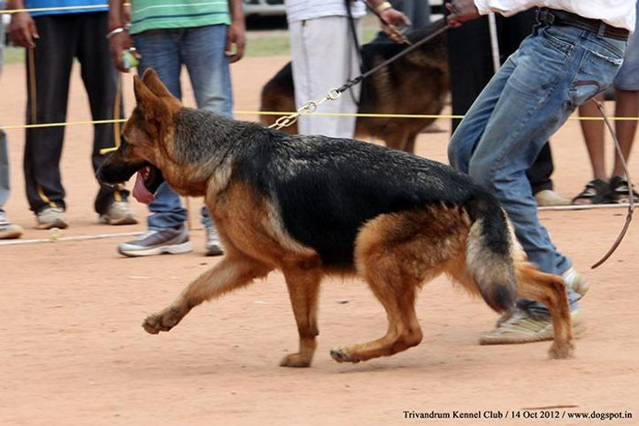 ex-289,german shepherd,sw-59,, VINMINS XANTIA, German Shepherd Dog, DogSpot.in