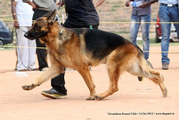 ex-298,german shepherd,sw-59,, NIQ, German Shepherd Dog, DogSpot.in