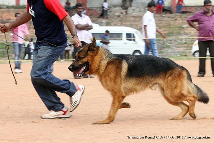 ex-312,german shepherd,sw-59,, Trivandrum Dog Show 14th Oct 2012, DogSpot.in