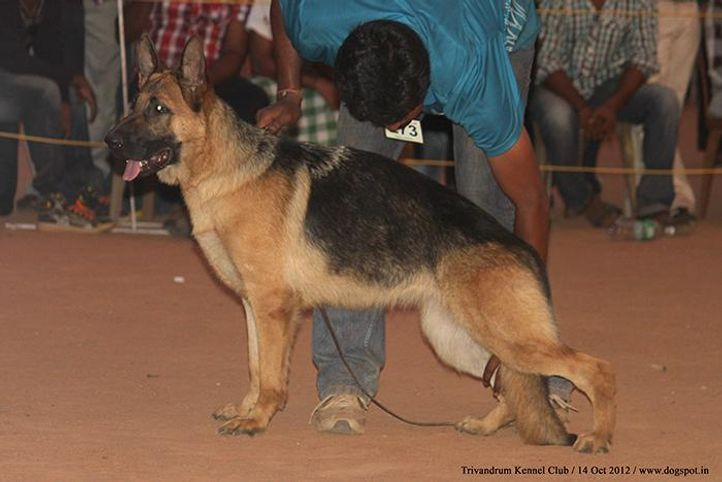 ex-273,german shepherd,sw-59,, WILDSTROBE'S ATHENA, German Shepherd Dog, DogSpot.in