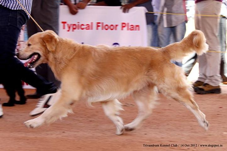 ex-94,golden retriever,sw-59,, JOHEEMRS OPHELIAS ONCE IS NOT ENOUGH, Golden Retriever, DogSpot.in
