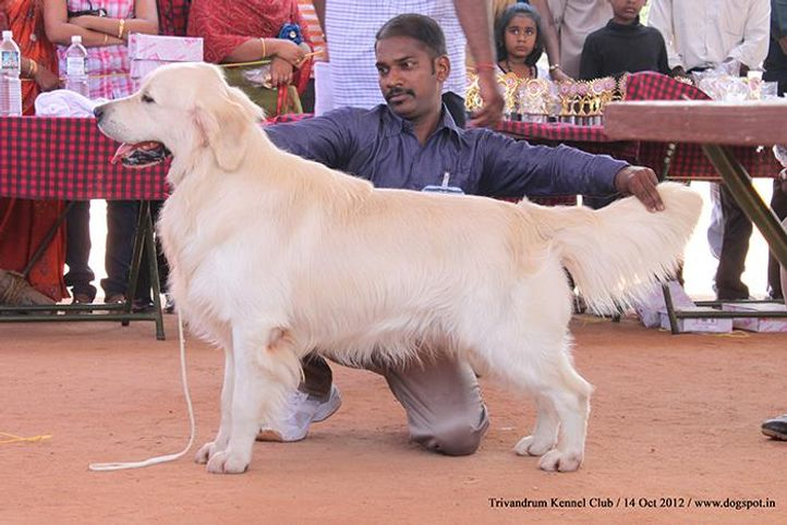 golden retriever,sw-59,, Trivandrum Dog Show 14th Oct 2012, DogSpot.in