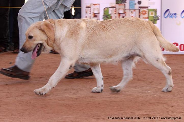 ex-116,labrador retriever,sw-59,, GUNQUESTS GOLDEN OKE, Labrador Retriever, DogSpot.in