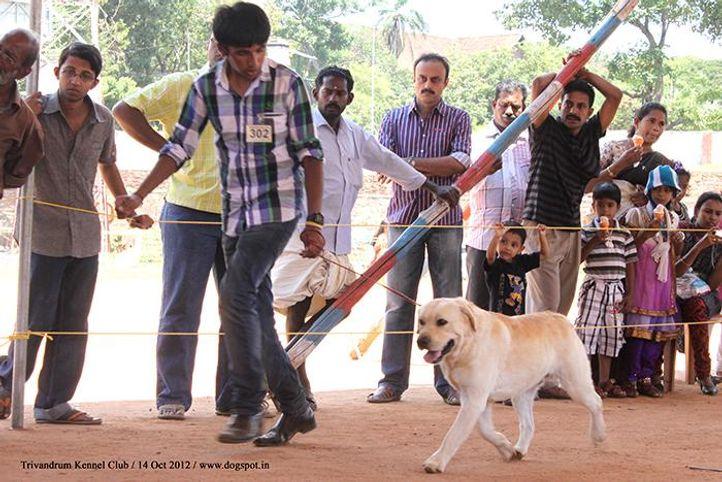 ex-302,labrador retriever,sw-59,, Trivandrum Dog Show 14th Oct 2012, DogSpot.in