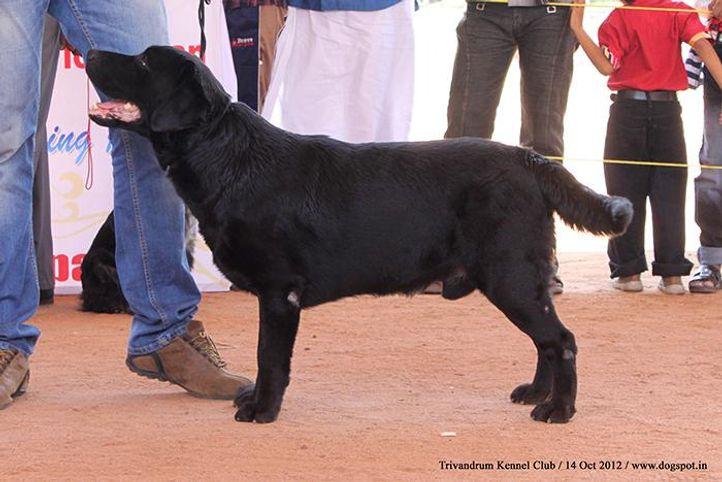 ex-129,labrador retriever,sw-59,, DADDEMMA AFRICAN ARTS OF BANCHERY, Labrador Retriever, DogSpot.in
