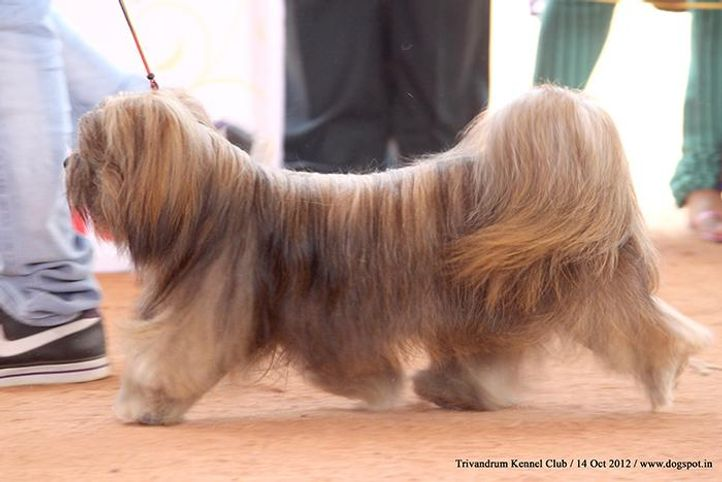 ex-45,lhasa apso,sw-59,, DEEPANIS FULLY ZAPPED, Lhasa Apso, DogSpot.in