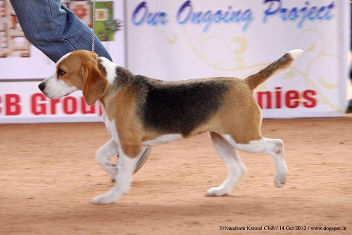 beagle,ex-51,sw-59,, HUNTER WOODS STEALING CREAM, Beagle, DogSpot.in