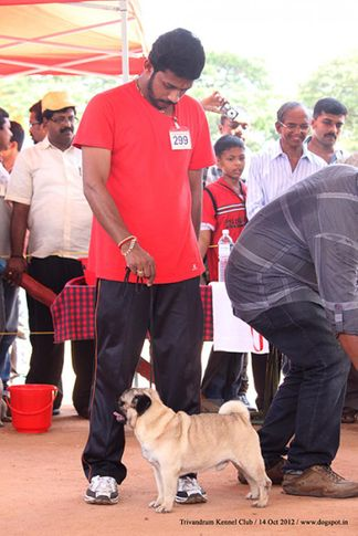 ex-299,pug,sw-59,, Trivandrum Dog Show 14th Oct 2012, DogSpot.in