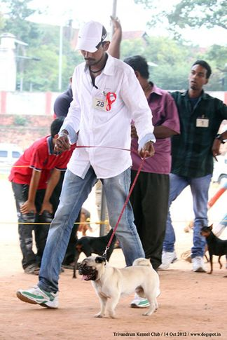 pug,sw-59,, Trivandrum Dog Show 14th Oct 2012, DogSpot.in