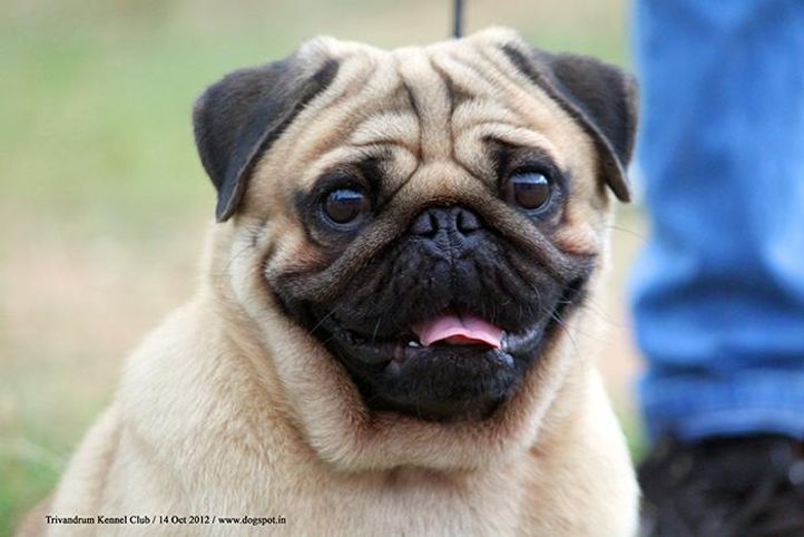 ex-22,pug,sw-59,, SIMMYS GUY BLESSED, Pug, DogSpot.in