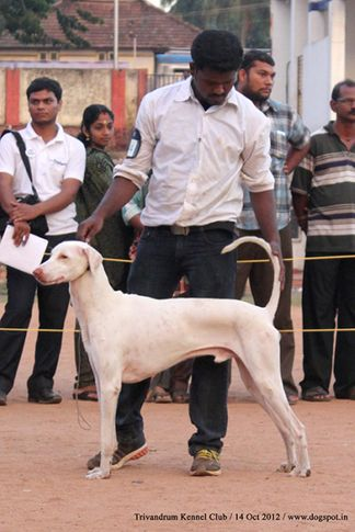 rajyapalyam,sw-59,, Trivandrum Dog Show 14th Oct 2012, DogSpot.in