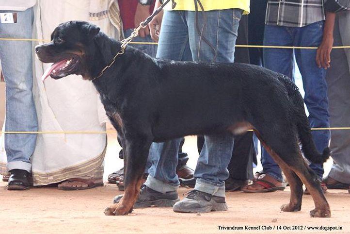 ex-203,rottweiler,sw-59,, BREEZE TIMIT TOR, Rottweiler, DogSpot.in