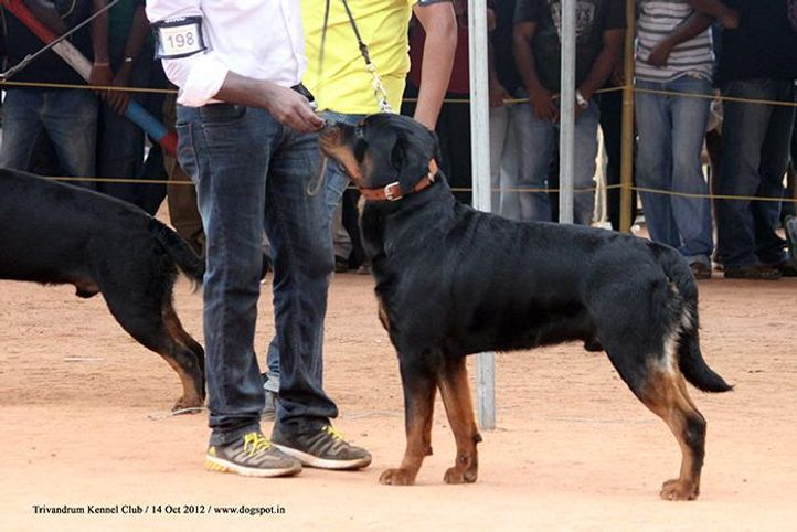 ex-198,rottweiler,sw-59,, SANYADORS MATADOR O RED, Rottweiler, DogSpot.in