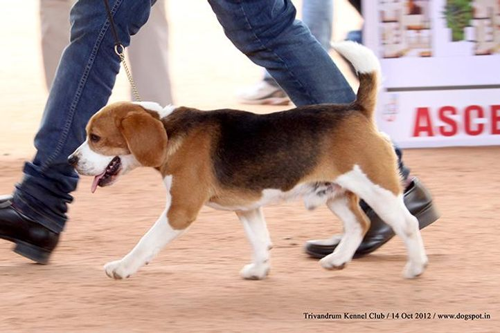 beagle,ex-300,sw-59,, Trivandrum Dog Show 14th Oct 2012, DogSpot.in