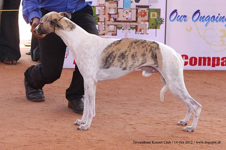 sw-59,whippet,, Trivandrum Dog Show 14th Oct 2012, DogSpot.in