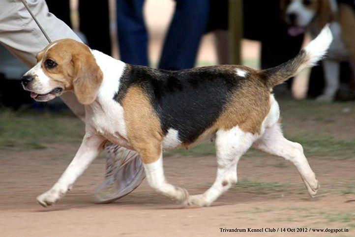 beagle,ex-54,sw-59,, PRABRANDS DARK BIRD, Beagle, DogSpot.in