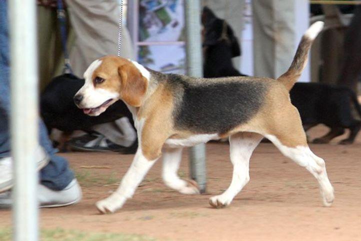 beagle,ex-53,sw-59,, JOHEEMERS SILVER MEADOWS SANTA FE, Beagle, DogSpot.in