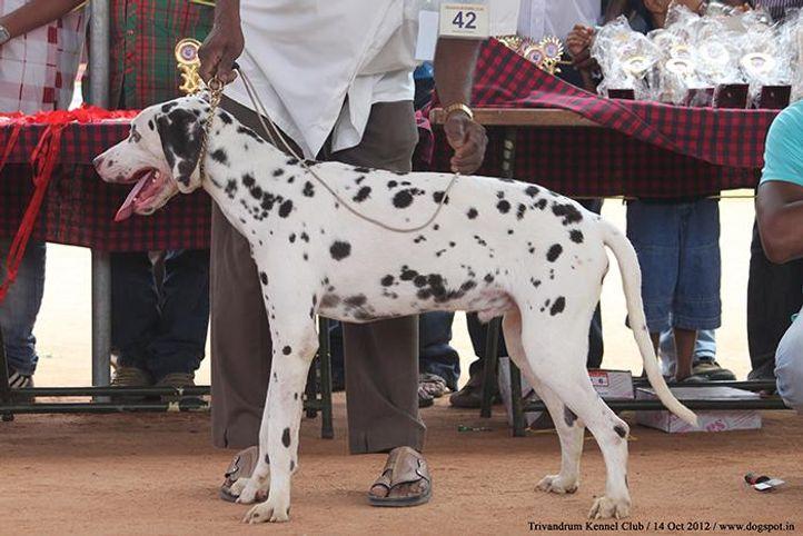 dalmatian,ex-42,sw-59,, CELIN, Dalmatian, DogSpot.in