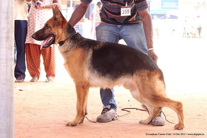 ex-255,german shepherd,sw-59,, ARMOUR OF ANGARBERG, German Shepherd Dog, DogSpot.in