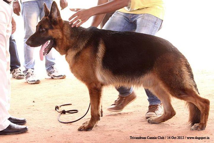ex-256,german shepherd,sw-59,, RABY VON DER PISTE TROPHE, German Shepherd Dog, DogSpot.in