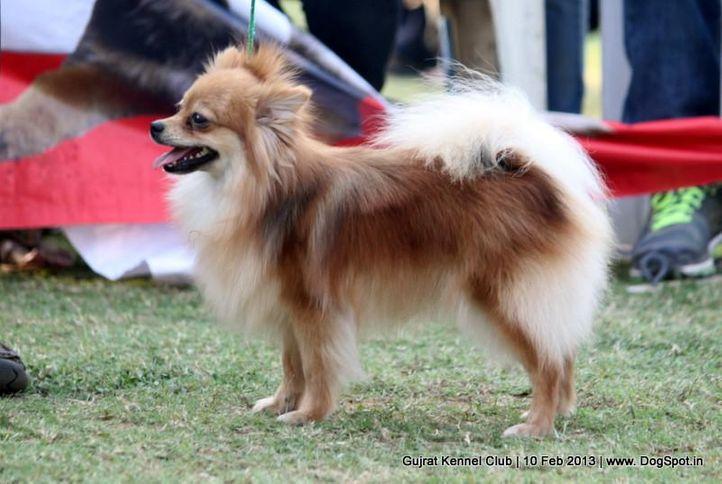 ex-5,pomeranian,sw-83,, Vadodara Dog Show , DogSpot.in