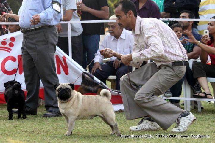 ex-20,pug,sw-83,, Vadodara Dog Show , DogSpot.in