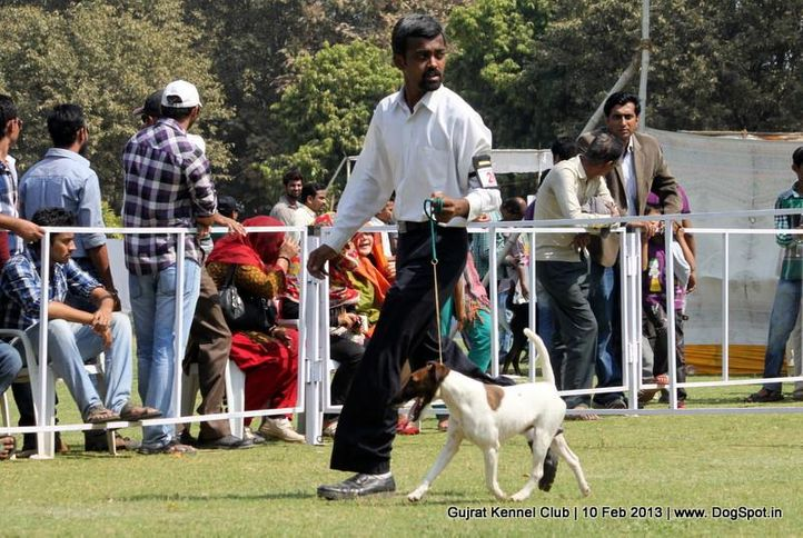 ex-26,fox terrier,sw-83,, Vadodara Dog Show , DogSpot.in