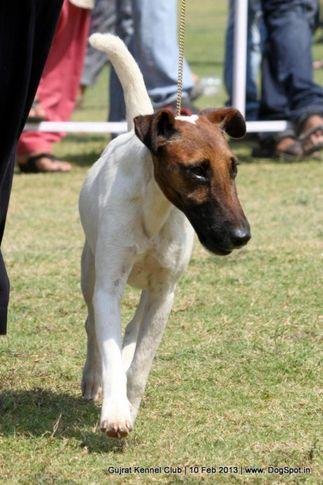 ex-26,fox terrier,sw-83,, Vadodara Dog Show , DogSpot.in