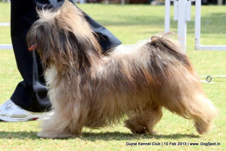 ex-27,lhasa apso,sw-83,, Vadodara Dog Show , DogSpot.in