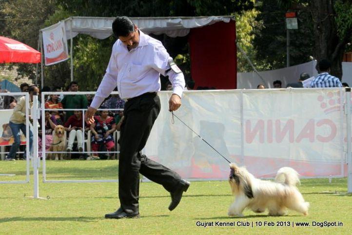 ex-29,shih tsu,sw-83,, Vadodara Dog Show , DogSpot.in