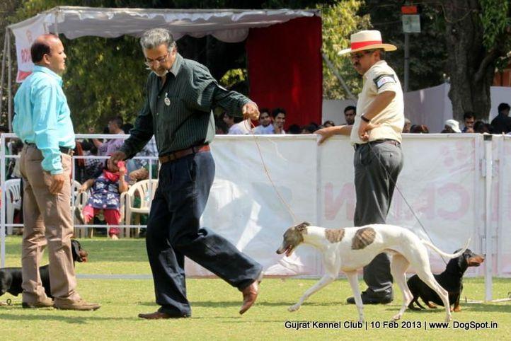 ex-53,sw-83,whippet,, Vadodara Dog Show , DogSpot.in