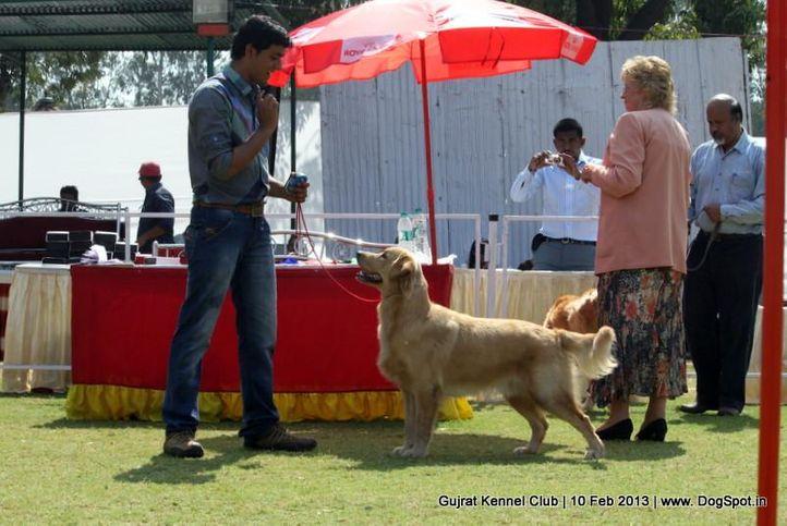 ex-54,golden retriever,sw-83,, Vadodara Dog Show , DogSpot.in