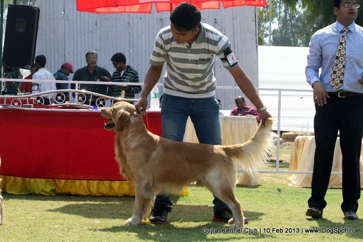ex-61,golden retriever,sw-83,, Vadodara Dog Show , DogSpot.in