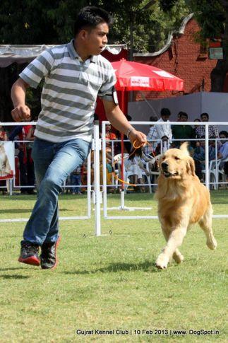 ex-61,golden retriever,sw-83,, Vadodara Dog Show , DogSpot.in