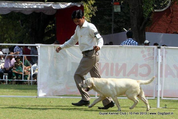 ex-63,labrador retriever,sw-83,, Vadodara Dog Show , DogSpot.in