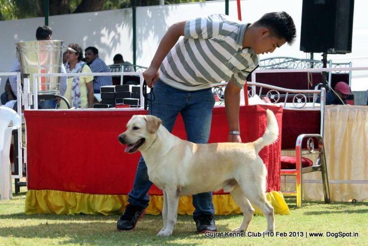 ex-69,labrador retriever,sw-83,, Vadodara Dog Show , DogSpot.in