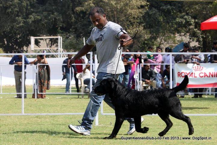 ex-72,labrador retriever,sw-83,, Vadodara Dog Show , DogSpot.in