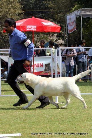 ex-73,labrador retriever,sw-83,, Vadodara Dog Show , DogSpot.in